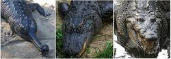 800px-Comparison - Crocodilia