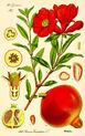 Illustration Punica granatum