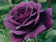 Purple-Rose-Seeds