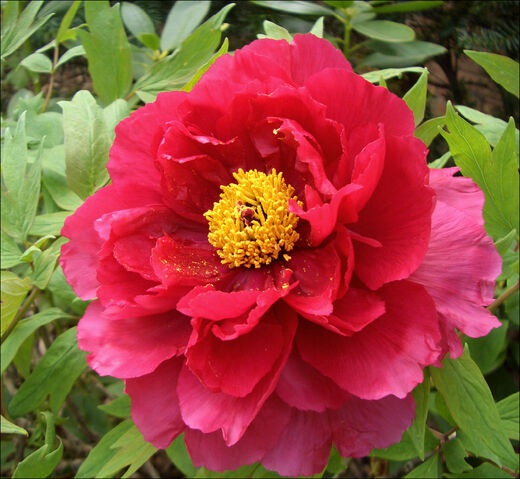 File:Paeonia suffruticosa - 04.jpg