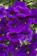 Supertunia mini blue 0