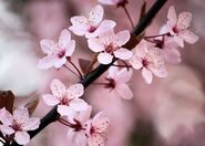 Beautiful-Cherry-Blossom-cherry-blossom-35246756-800-571