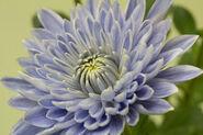 Blue-chrysanthemum-naro.jpg&client=cbc79c14efcebee57402