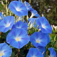 Morning-glory-heavenly-blue