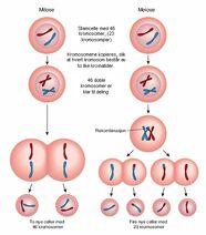 Mitose-meiose