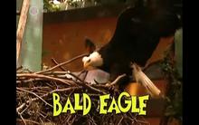 Bald Eagle | The Zoboomafoo Wiki | FANDOM powered by Wikia