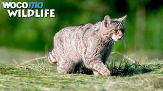 Photographing a very rare animal the European wildcat