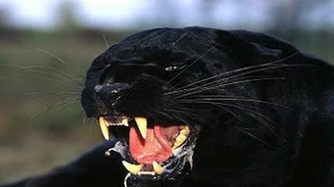 Big Wild Cats (DOCUMENTARY)