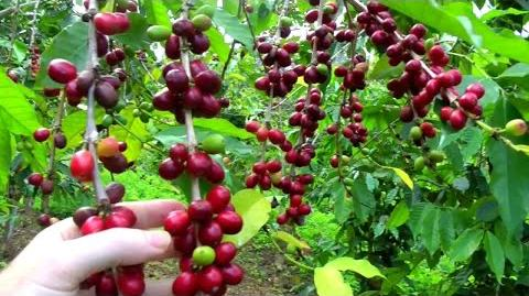 Make a Cup of Coffee Starting From Scratch Coffea arabica Video