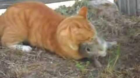 Cat kills rabbit