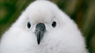 Fluffy Chicks are Blown From Their Nests in Antarctic Storms Seven Worlds, One Planet BBC Earth