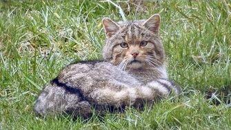 European wildcat, Europäische Wildkatze