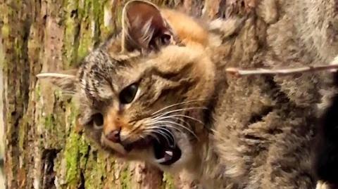 European Wildcats