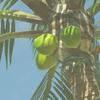 BOTW Encyclopédie Noix de Coco