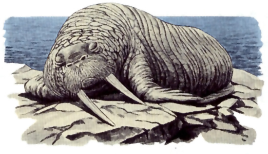 File:Walrus.png