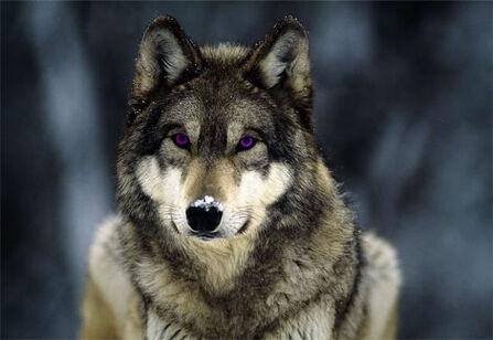 Purple eye wolf