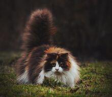 Норвежский-лесной-кот-это-не-только-ценный-мех