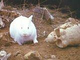 Убийственный кролик Каербаннога