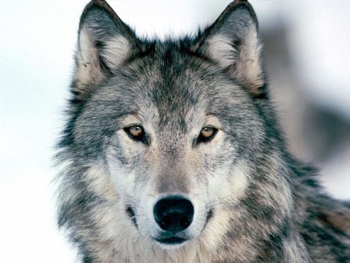 File:Wolf-photo.jpg