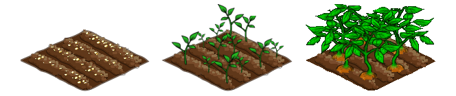 Potatoes stages