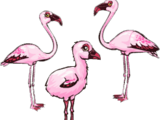 Dwarf Flamingo