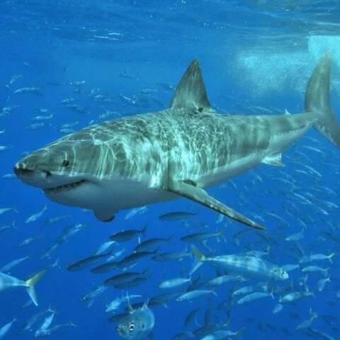 Great white shark at Isla Guadalupe, Mexico