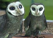Sooty-owl-ztuac