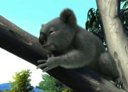 New-south-wales-koala-ztuac