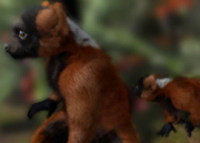 Red-ruffed-lemur-ztuac