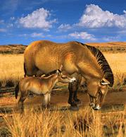 ZT1 - Przewalski's Wild Horse