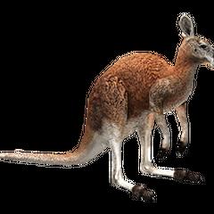 Red Kangaroo remake (male).