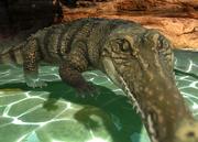Freshwater-crocodile-ztuac