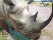 Eastern-black-rhinoceros-zt
