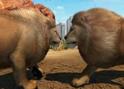 Transvaal-lion-ztuac