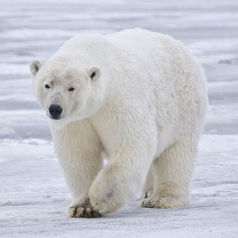 Polar bear at Arctic NWR, Beaufort Sea, Alaska