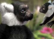 Ruffed-lemur-ztuac
