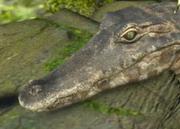 Yacare-caiman-ztuac