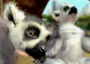 Ring-tailed-lemur-ztuac