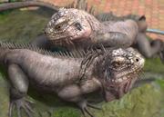 Lesser-antillean-iguana-ztuac