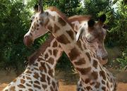 Kordofan-giraffe-ztuac