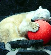 Maganet the Polar Bear