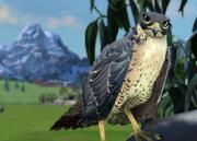 Peregrine-falcon-ztuac