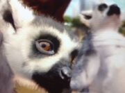 Ring-tailed-lemur-zt