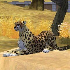 King Cheetah resting on a rock.