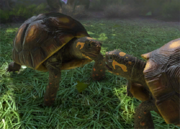 Red-footed-tortoise-ztuac