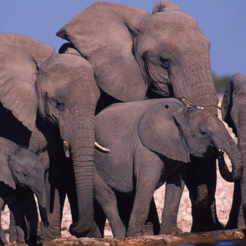 A herd of real-life African elephants]]