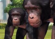 Western-chimpanzee-ztuac
