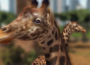 Masai-giraffe-ztuac