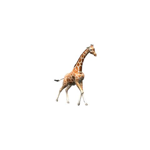 Reticulated giraffe.