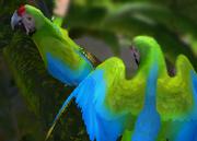 Military-macaw-ztuac